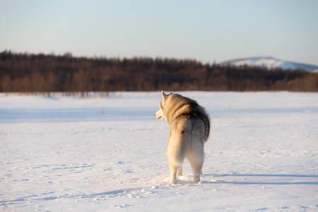 Retrato de hermoso, feliz y lindo perro de raza beige y blanco husky siberiano de pie de nuevo a la cámara en la nieve en el campo de invierno al atardecer