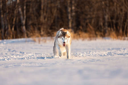 Portrait of Crazy, happy and adorable beige and white dog breed siberian husky with tonque out jumping and running on the snow path in the winter field. Playful husky dog
