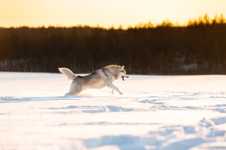 Portrait of Crazy, happy and cute beige and white dog breed siberian husky running fast on the snow in the winter field at golden sunset in backlight. Playful husky dog