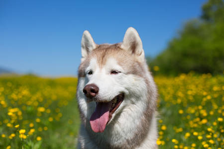 Close-up Portrait of A beige and white dog breed siberian husky is in the buttercup field in summer. Image of happy husky on the yellow flowers, green grass and blue sky background