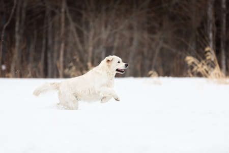 Portrait of cute and happy golden retriever dog running fast in the field in winter Imagens