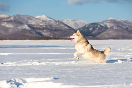 Crazy, happy and cute beige and white dog breed siberian husky with tonque out jumping on the snow in the winter field. husky dog has fun on mountain background