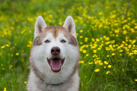 Portrait of lovely beige and white dog breed siberian husky with open mouth is in the buttercup field on sunny day