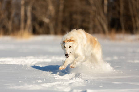 Portrait of Cute, funny and happy beige and white Russian borzoi dog or wolfhound running fast on the snow in the winter field