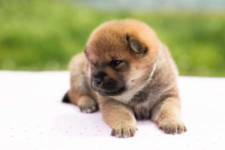 Profile Portrait of serious and cute red two weeks old shiba inu puppy lying on the table in summer