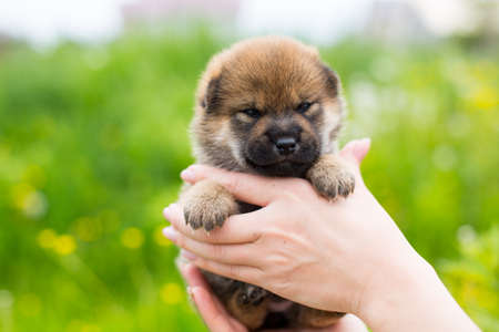 Close-up Portrait of cute red two weeks old puppy breed shiba inu in the hands of the owner in the buttercup field 写真素材