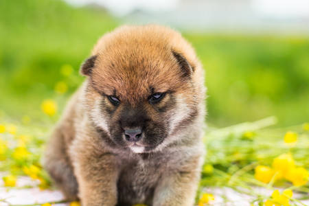 Close-up Portrait of serious and cute red two weeks old shiba inu puppy sitting on the table in the buttercup field in summer 写真素材