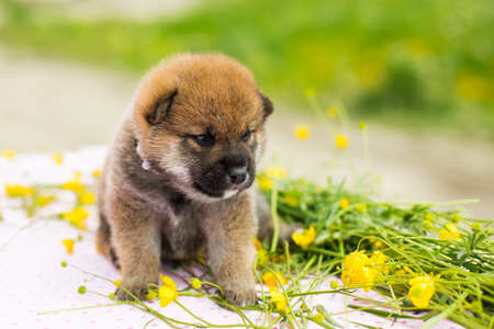Portrait of adorable red two weeks old shiba inu puppy sitting on the table in the buttercup field in summer
