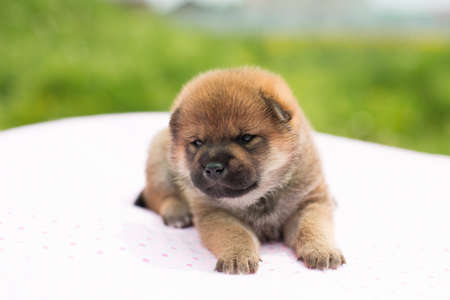 Close-up Portrait of cute red two weeks old shiba inu puppy lying on the table in summer