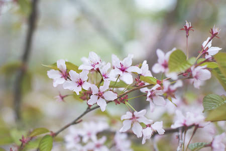 Image of Soft focus Cherry Blossom or Sakura flowers on nature background.