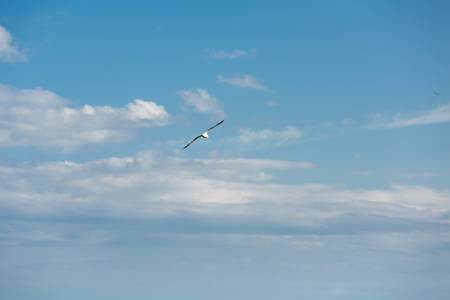 Flying seagull. A seagull is soaring in the sky. A large seagull against the sky.