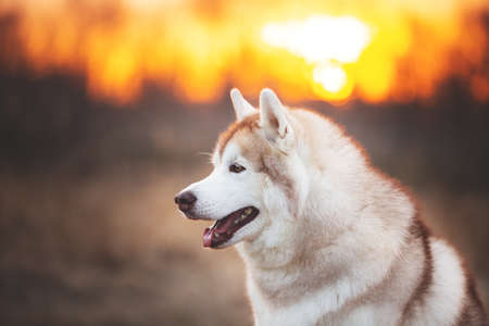 Profile Portrait of Beige and white Beautiful and gorgeous Siberian Husky dog sitting in the forest at sunset in spring