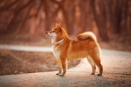 Portrait of Beautiful Young Red Shiba Inu Dog Standing Outdoor In the bright forest at golden Sunset.