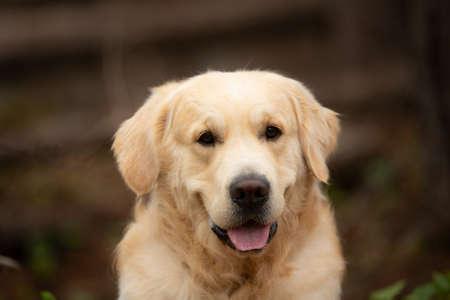 Retrato de primer plano de color beige hermoso y feliz golden retriever de raza de perro acostado al aire libre en el bosque al atardecer en primavera Foto de archivo