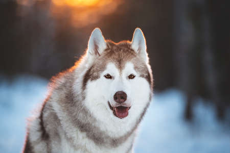 Close-up portrait of cute, lovely and happy siberian Husky dog sitting on the snow in winter fairy forest at golden sunset Imagens