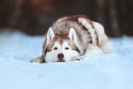 Close-up Portrait of beautiful, sad and free Siberian Husky dog lying on the snow path and looking to the camera in the mysterious winter forest at sunset.