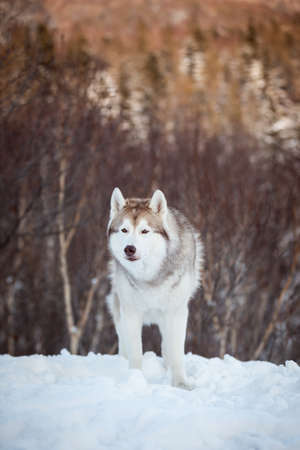 Portrait of beautiful, prideful and free Siberian Husky dog sitting is on the snow in winter forest at sunset on bright mountain background. Husky dog looks like a wolf 版權商用圖片