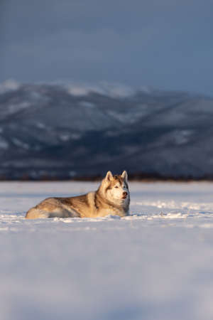 Profile Portrait of Beautiful, free and prideful dog breed siberian husky lying in the snow field in winter on mountain background at sunset