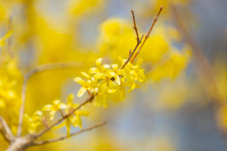 Yellow blooming Forsythia flowers in spring, blue sky on background. Natural spring background