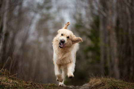 Portrait of Crazy, cute and funny dog breed golden retriever running in the dark forest and shakiing its head