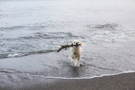 Image of a funny, wet and happy dog breed golden retriever has fun on the beach after swimming with the stick in its mouth Imagens