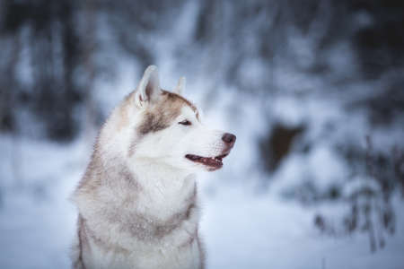 Profile Portrait of cute, happy and free beige dog breed siberian husky sitting on the snow in the fairy winter forest