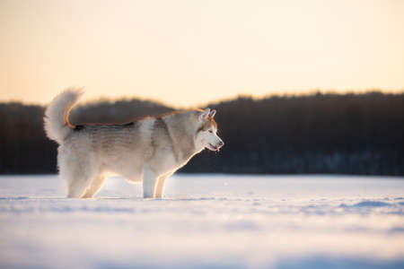 Profile Portrait of Beautiful, free and prideful dog breed siberian husky standing in the snow field in winter
