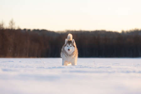 Portrait of Beautiful, free and prideful dog breed siberian husky standing in the snow field in winter at sunset