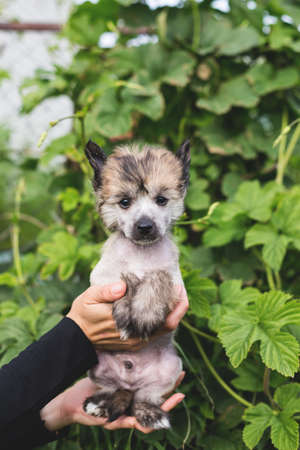 Portrait of adorable amber hairless puppy breed chinese crested dog in the hands of its owner on the green natural background on summer day.