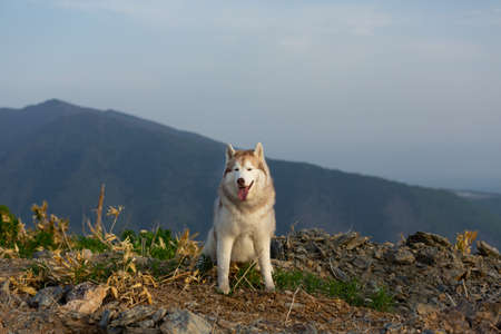 Portrait of Beautiful Siberian husky dog sitting on the hill in the background of mountains and forests in summer. Beige and white Dog on the background of a natural landscape.