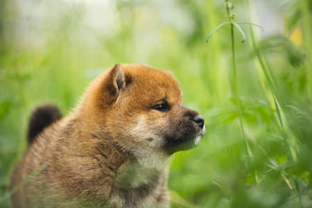 Profile Portrait of cute and beautiful red shiba inu puppy standing in the green grass in summer Stockfoto