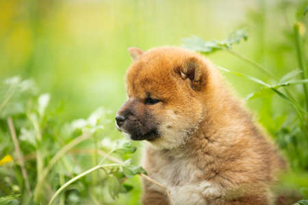 Profile Portrait of cute and lovely red shiba inu puppy sitting in the green grass in summer