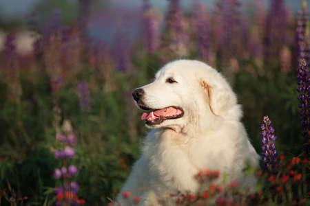 Profile Portrait of cute and happy maremma sheepdog. Big white fluffy dog breed maremmano abruzzese shepherd lying in the field of lupines in summer at sunset. Cane da pastore Maremmano-Abruzzese