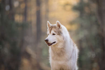 Profile Portrait of gorgeous, attentive and prideful Beige and white dog breed Siberian Husky sitting in the autumn forest at sunset in backlight Stock fotó