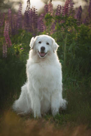 Portrait of beautiful happy maremma sheepdog. Big white fluffy dog breed maremmano abruzzese shepherd sitting in the field of lupines in summer at sunset. Cane da pastore Maremmano-Abruzzese 免版税图像