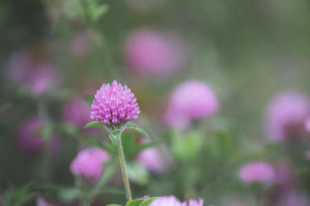 blooming red clover or Trifolium pratense and green grass close-up. Pink clover flowers in spring, shallow depth of field. Floral background.