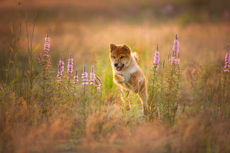 Cute, happy and crazy Young Red Shiba Inu Puppy Dog running fast In the Meadow at golden sunset. Japanese shiba inu dog in the field Фото со стока