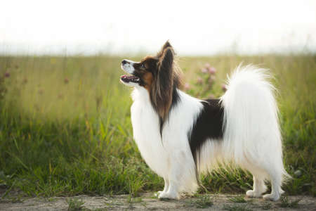 Beautiful Papillon dog standing in green grass field in summer at sunset. Portrait of continental toy spaniel outdoors