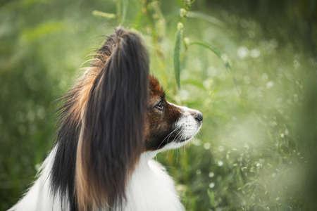 Retrato de primer plano de perro papillon lindo y hermoso sentado en la hierba verde en verano. Imagen de perfil del magnífico perro de aguas de juguete continental al aire libre Foto de archivo