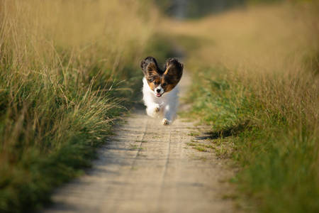 Portrait of happy and crazy papillon dog running fast on the path in the field. Cute and beautiful dog breed continental toy spaniel having fun outdoors in fall