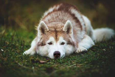 Close-up Portrait of sad and meditative siberian Husky dog lying is on the ground in the autumn forest at sunset