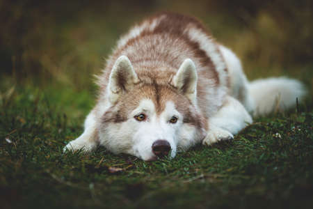 Close-up Portrait of pensive siberian Husky dog lying is on the ground in the autumn forest at sunset