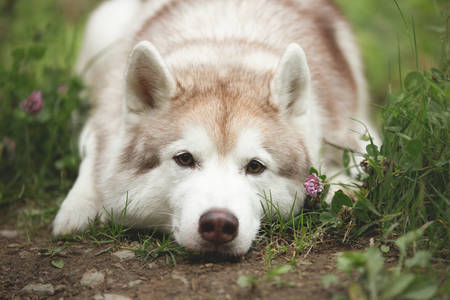 Close-up Portrait of sad and wistful siberian Husky dog lying is on the ground in the autumn forest at sunset Stok Fotoğraf