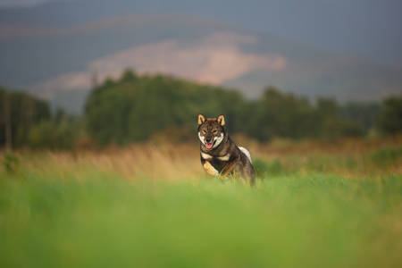 Cute, happy and crazy Young Shikoku Dog running fast In the Meadow at sunset. Rare Japanese shikoku dog having fun in the field om mountain background