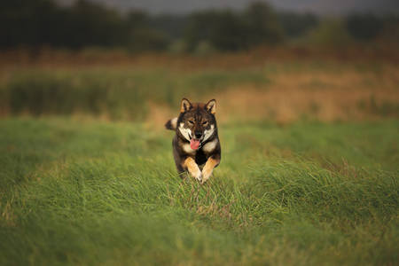 Cute, happy and crazy Young Shikoku Dog running fast In the Meadow at sunset. Rare Japanese shikoku dog having fun in the field