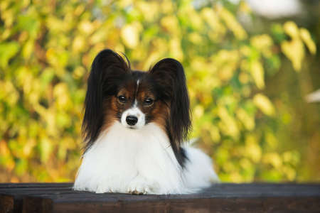 Portrait of Beautiful papillon dog lying on the wooden bench in the park in bright fall. Close-up. Gorgeous Continental toy spaniel outdoors at sunset