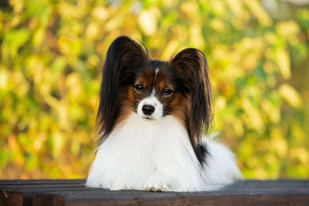 Portrait of Beautiful papillon dog lying on the wooden bench in the park in bright fall. Close-up. Adorable Continental toy spaniel outdoors at sunset