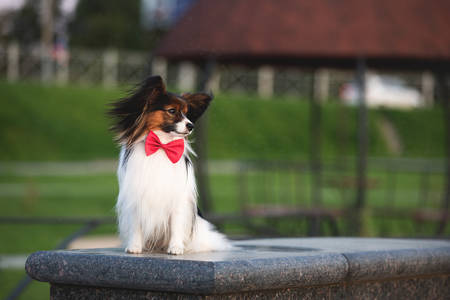 Profile Portrait of Beautiful papillon dog lying on the wooden bench in the park in bright fall. Continental toy spaniel outdoors. Close-up. Adorable Continental toy spaniel outdoors at sunset