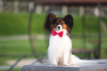 Portrait of Beautiful papillon dog lying on the wooden bench in the park in bright fall. Continental toy spaniel outdoors. Close-up. Adorable Continental toy spaniel outdoors at sunset Фото со стока