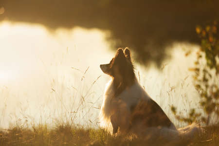 Portrait of Beautiful papillon dog sitting on the river bank at sunset. Close-up. Cute Continental toy spaniel outdoors at sunset
